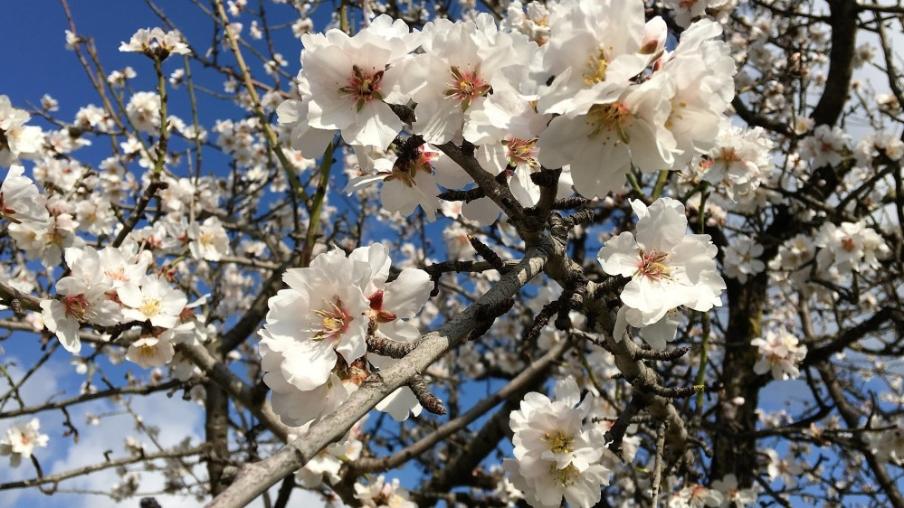 Almond blossom: the island becomes colourful, sniff the spring scent